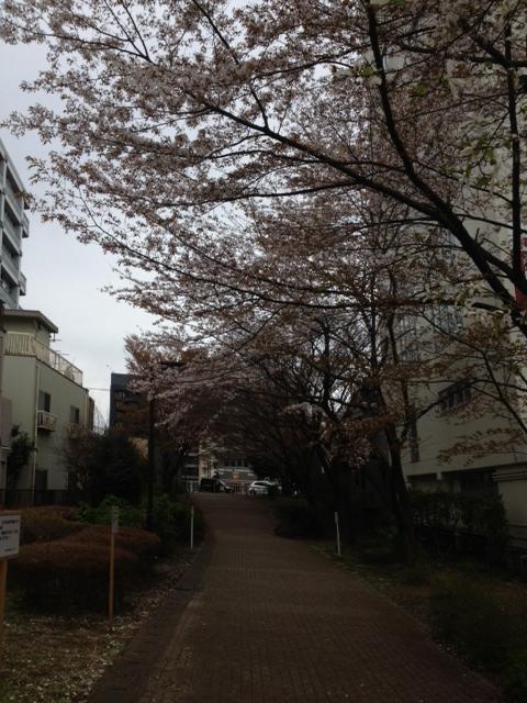 saiwaisakura.JPG